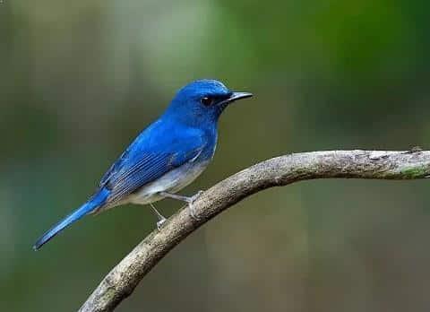 Gambar Burung Selendang Biru