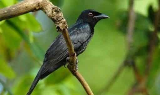 Gambar Burung Srigunting Hitam