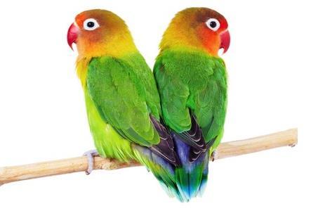 Bentuk Sayap Burung Lovebird Jantan dan Betina