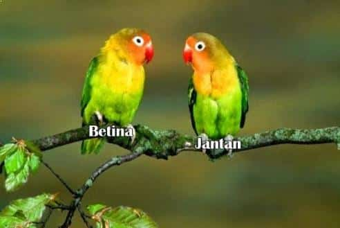 Bentuk Tubuh Burung Lovebird Jantan dan Betina