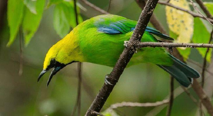 Burung Cucak Rante