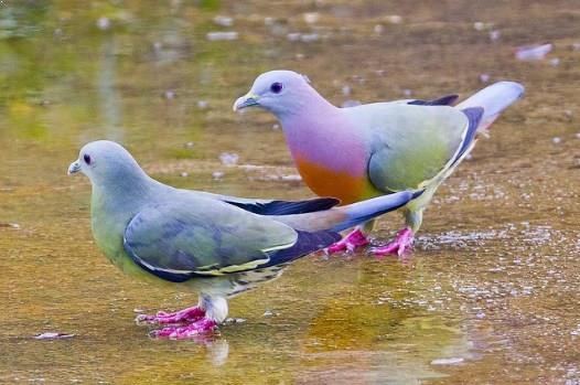 Burung Merpati Jantan dan betina