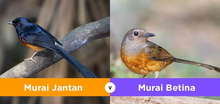 Burung Murai Jantan dan Betina