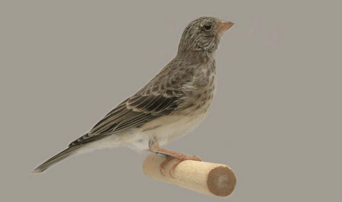 Burung Sanger