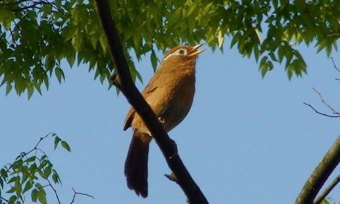 Burung Wambi