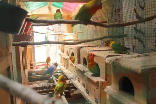 Cara Menjodohkan Burung Lovebird dengan Mudah