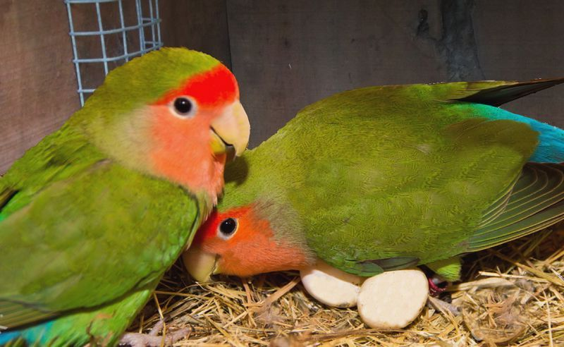 Cara Ternak Lovebird Agar Cepat Bertelur