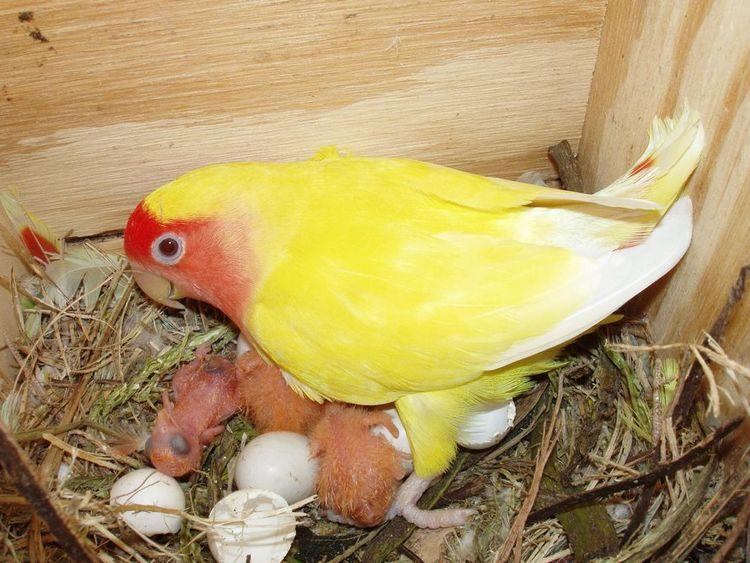 Cara Ternak Lovebird yang Benar