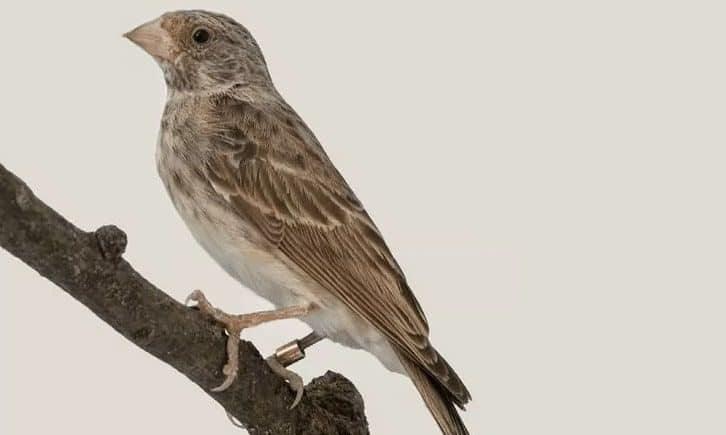 Burung-Sanger