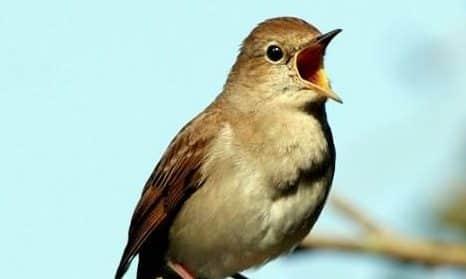 Gambar Burung Flamboyan Gacor