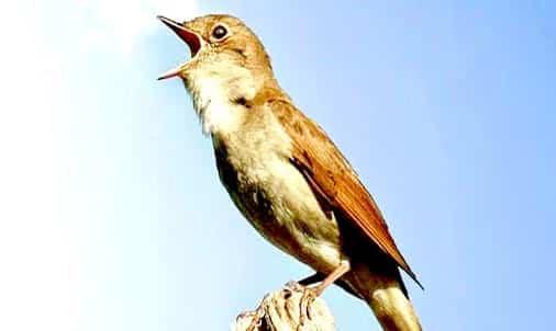 Gambar Burung Flamboyan