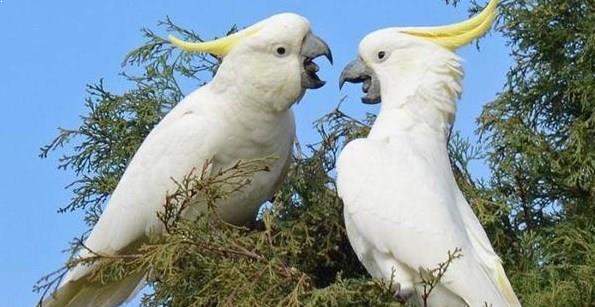 Gambar Burung Kakatua Jambul Kuning