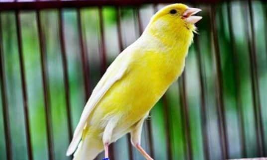 Gambar Burung Kenari Af Gacor