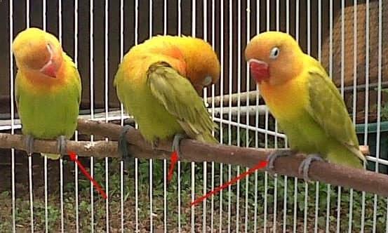 Download 730+ Foto Gambar Burung Lovebird Siap Lomba  Paling Unik Gratis