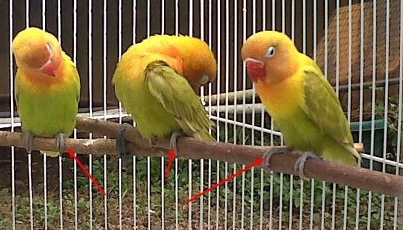 Gambar Burung Lovebird Dewasa
