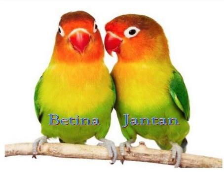 Gambar Burung Lovebird Jantan Dan Betina Dewasa