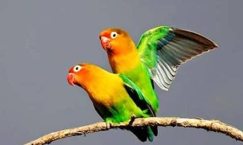 Gambar Burung Lovebird Kawin