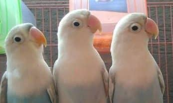 Gambar Burung Lovebird Pastel Putih