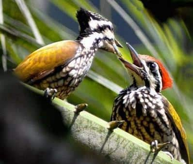 Gambar Burung Pelatuk Bawang Jantan dan Betina