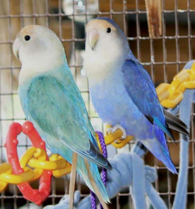 Gambar Lovebird Biola
