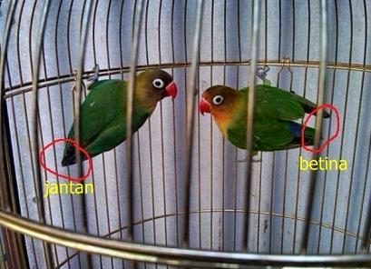 Gambar Lovebird Jantan dan Betina