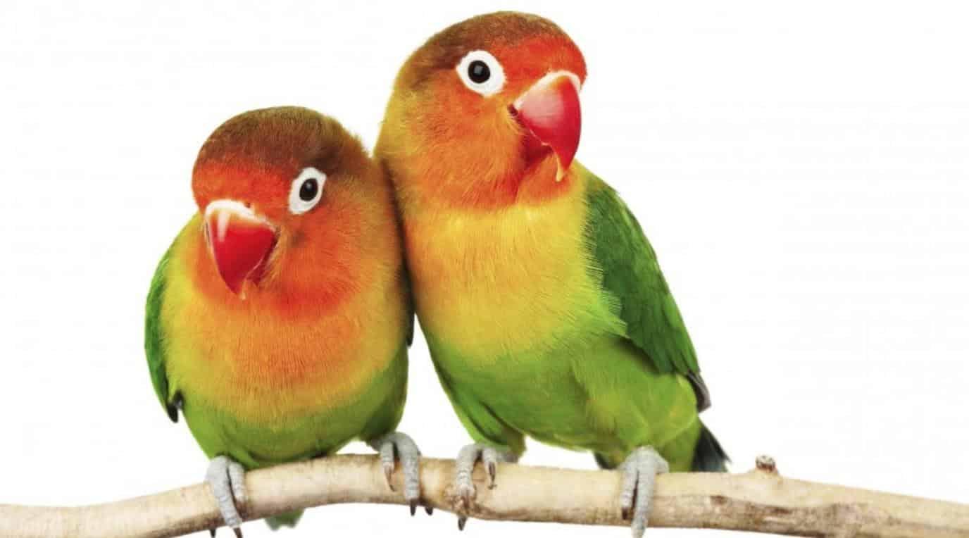 Gambar Lovebird Lucu