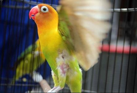 Gambar Lovebird Ngekek Panjang