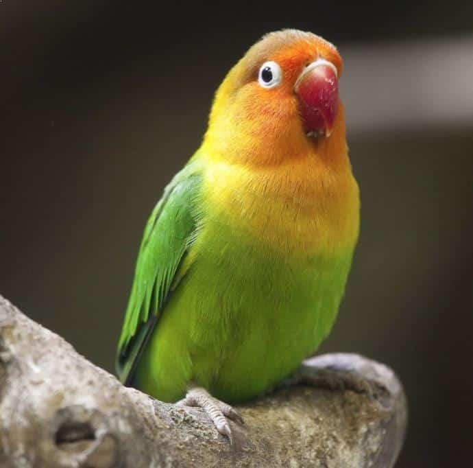 Gambar Lovebird Ngekek