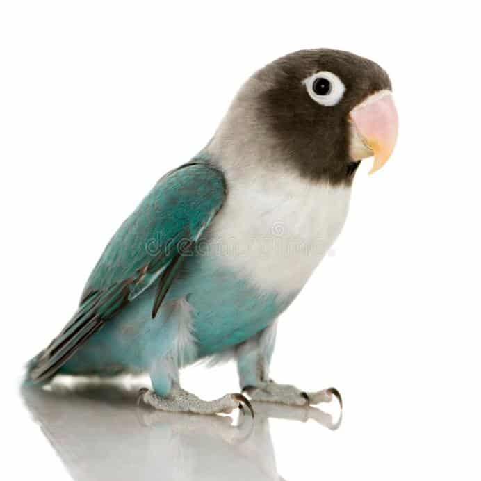 Gambar Lovebird Parblue