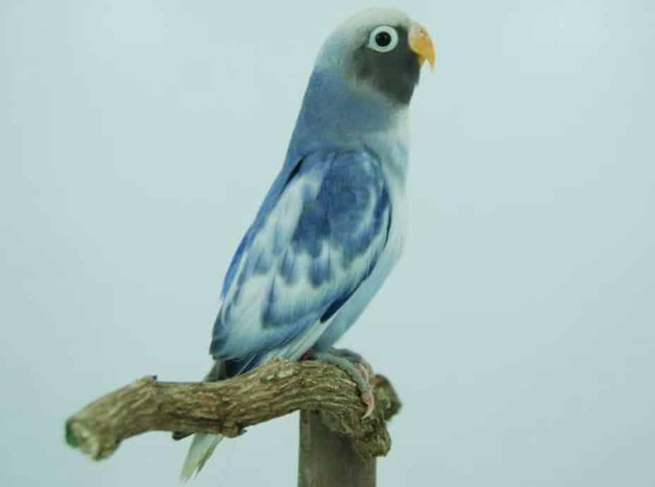 Gambar Lovebird Pasvio