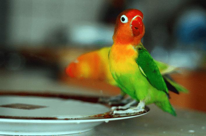 Gambar Merawat Lovebird Ngekek Panjang