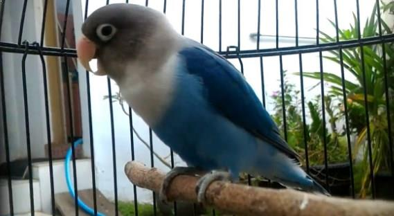 Lovebird Biru Mangsi