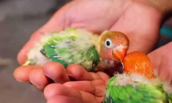 Lovebird Jantan dan Betina Umur 2 Bulan