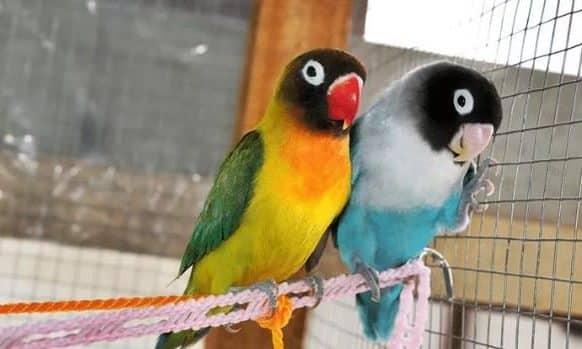 Lovebird Pastel Kuning dan Lutino