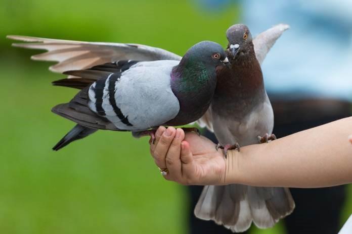 Membedakan Jenis Kelamin Burung Merpati