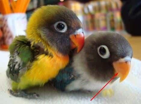 Paruh Burung Lovebird
