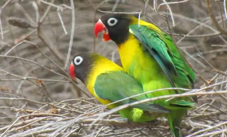 cara membedakan lovebird betina dan pejantan