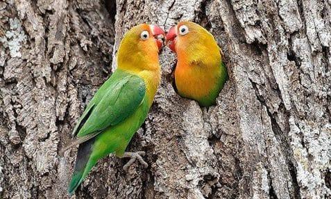ciri-ciri-lovebird-ngekek-panjang