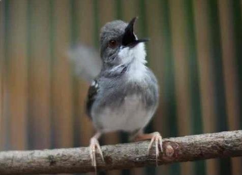 Burung Ciblek Kristal