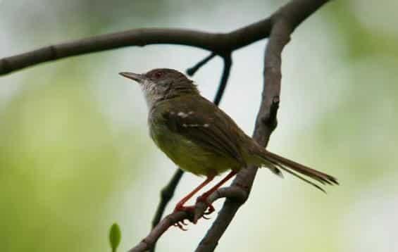 Burung Ciblek Jawa