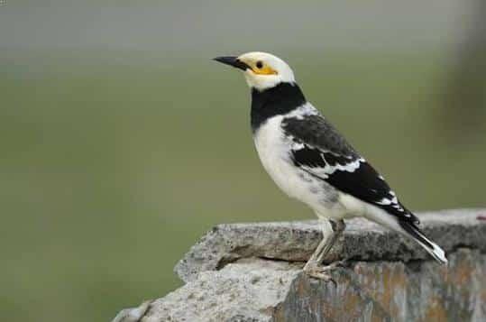 Gambar Burung Jalak Thailand