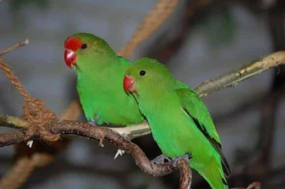 Gambar Burung Lovebird Abisinia