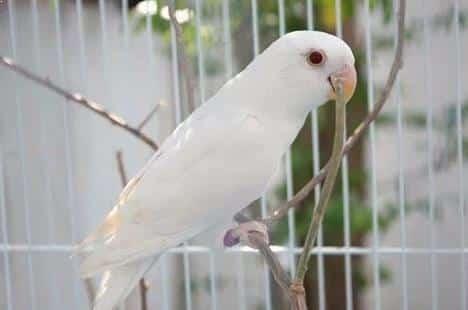 Gambar Burung Lovebird Albino