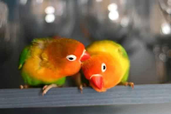 Gambar Burung Lovebird Fischer