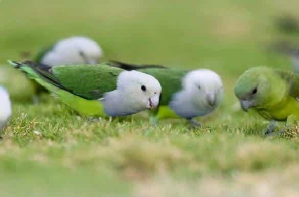 Gambar Burung Lovebird Madagaskar