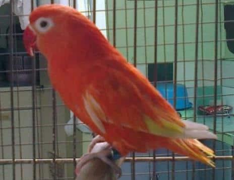 Gambar Burung Lovebird Merah