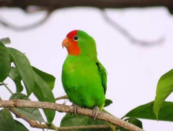Gambar Burung Lovebird Muka Merah