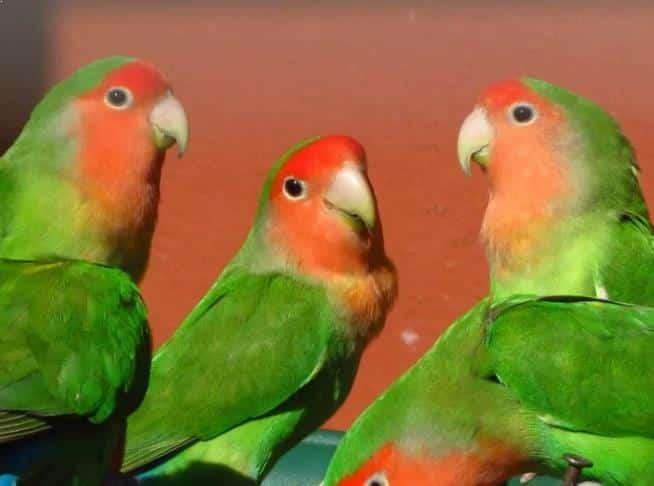 Gambar Burung Lovebird Muka Salem