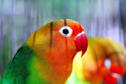Gambar Burung Lovebird Nyasa