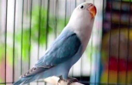 Gambar Burung Lovebird Pastel